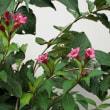 ベニバナハコネウツギ 紅花箱根空木