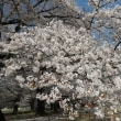 神田川の花筏・無線山の染井吉野