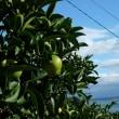 大崎下島、レモン畑が見たい!