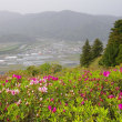 冨士山のツツジ