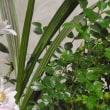 我家で唯一の盆栽バラ!・・・のぞみ トトロ風鉢