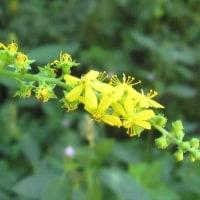 <キンミズヒキ(金水引)> バラ科の多年草、長い花穂に小さな黄花
