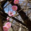 さあ 咲きましたよ 大仙の桜たち
