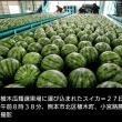 熊本のスイカ~出荷が始まる!
