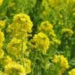 伊良湖菜の花まつり