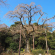 長興山のシダレザクラ 神奈川県小田原市