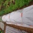 タマネギの苗を植え付ける。
