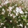 「おはようの花」 ガウラ 6月