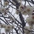梅の花たち♪