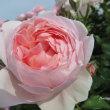 ピンク系花色のイングリッシュローズ2017年5月〜6月