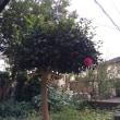 小さな山茶花の木