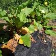 ルバーブの夏の手入れと灌水(水やり)