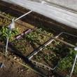 春野菜 H30-05-22 ㈫ 晴