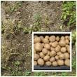 ジャガイモの収穫とトウモロコシの種まき