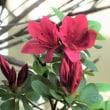 キリシマツツジ開花