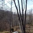 古木のヤマザクラ枝切り