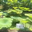 2018年8月4日 活動報告 ④ 舞妃蓮が咲いています