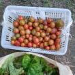 挿し木したトマト