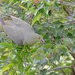 アクロバットで採餌:リュウキュウズアカアオバト