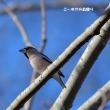 今日の野鳥・・・シメ・・・枝の上に 【その①】。。。