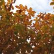 トチの黄葉、ヤブツバキの実