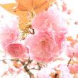ヤマサ蒲鉾の芝桜に兵庫県立フラワーセンターのチューリップ、ツツジ、八重桜