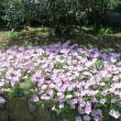 地植えのサフィニアがこんなに花を咲かせた