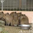 姫路動物園の カピパラの六つ子ちゃん