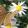 幼虫はスミレ類が大好き ミドリヒョウモン