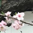 アーモンドの花、杏の花ソメイヨシノが満開