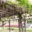 尾張旭市、長池の藤