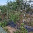 トマト1回目の畝