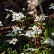 春を告げる花が続々・・バイカオウレンとオオミスミソウ