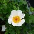 カカヤンバラが咲いた