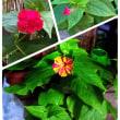 昭和の花「オシロイバナ」