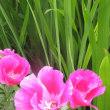ユリ、ゴティチア、トリテレイア、バラ、菊,百日草