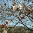 桜はようやく3分咲き