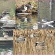 眠れる池の鴨