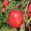 お尻に火がついている 晴家のリンゴ収穫