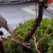 鳥撮り  ヒヨドリ