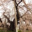 滝桜 #2