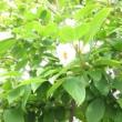 シャラの花が咲き出しました♪