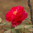 牡丹の花(Ⅳ)