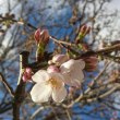 我が家の桜も開花宣言
