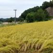 今日も稲刈りです。