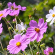 信州塩田平・・・農家の庭の花畑・・・ツマグロヒョウモンが飛ぶ