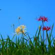 淀江町 上淀廃寺跡に彼岸花が咲き始めた♪