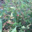 花壇にヒマワリ。 ほたるの里緑道に白いハナショウブの花
