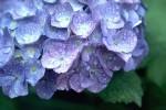 紫陽花の毒