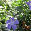 西洋タンポポの花に紅シジミ蝶